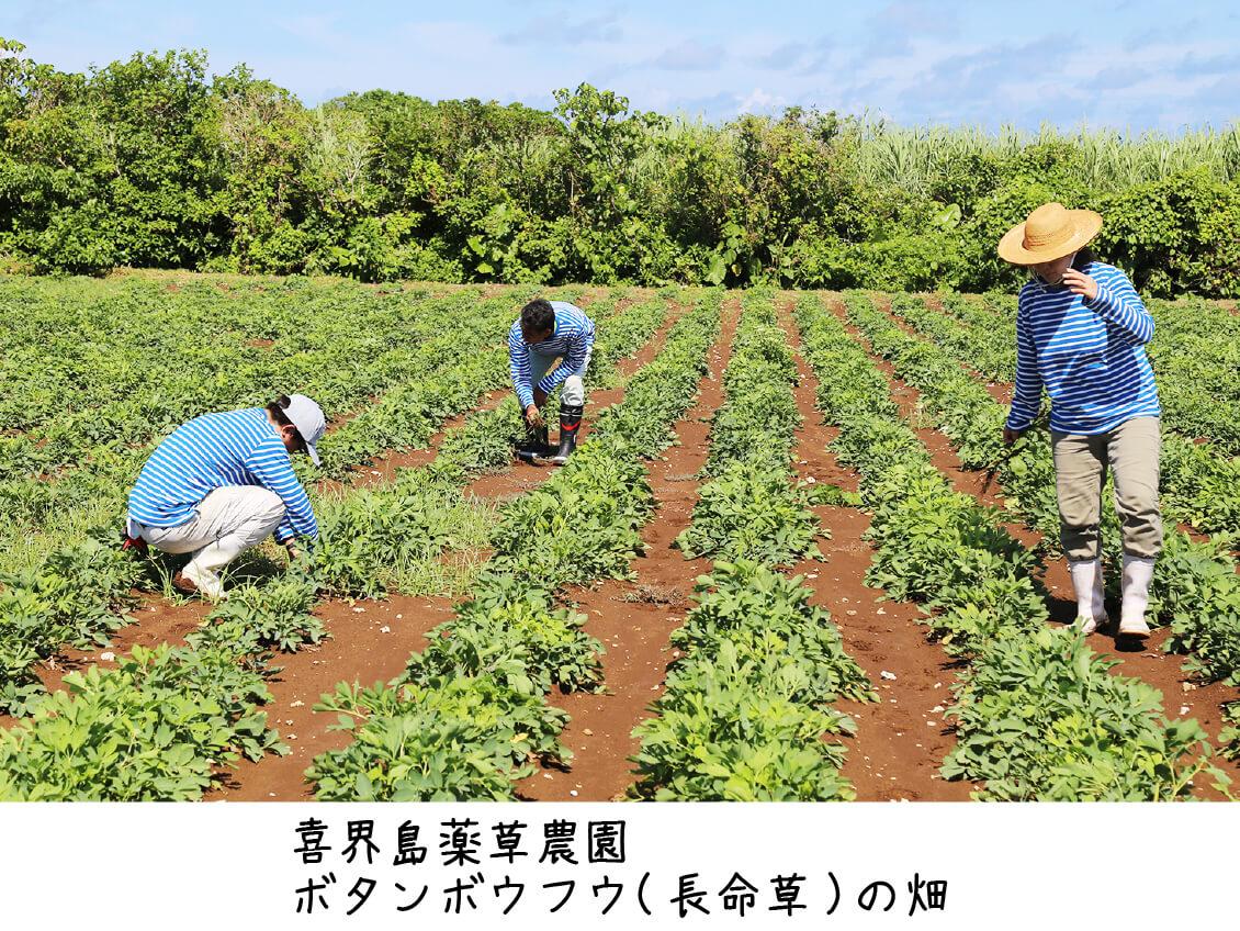 喜界島薬草農園のボタンボウフウ(長命草)畑