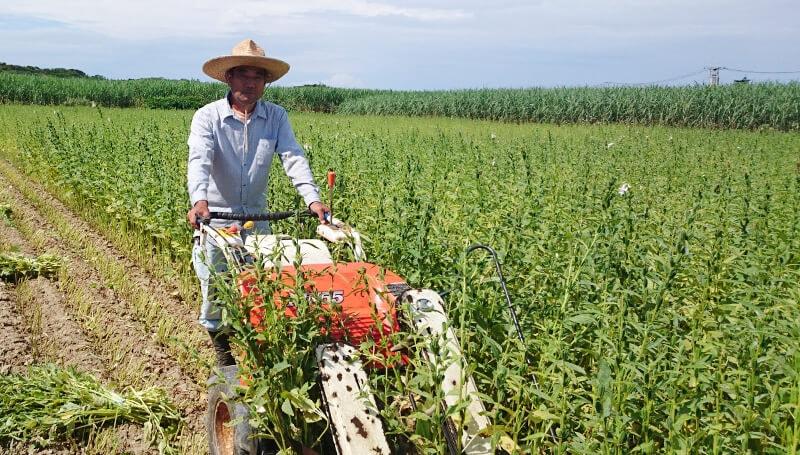 白ごまの収穫作業
