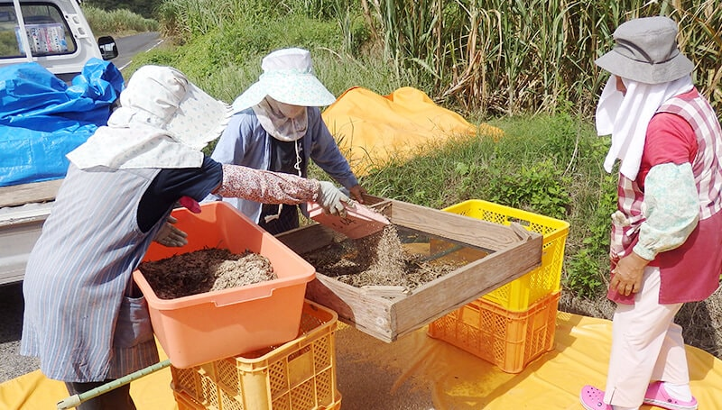 白ごまの天日干し後の脱穀し篩がけ