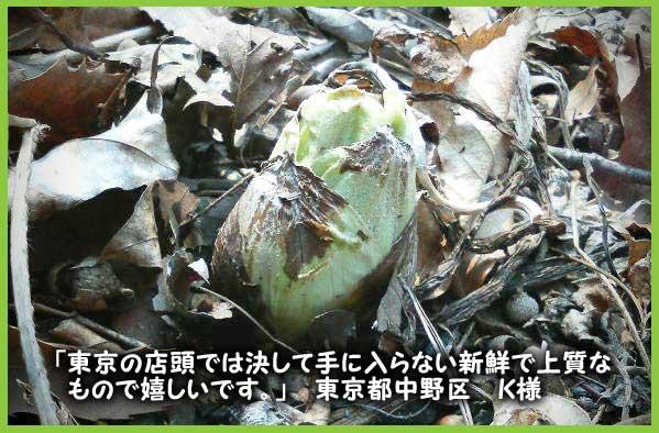 ふきのとう(蕗の薹)販売【天然きのこ山菜.com】