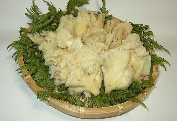 ぶなはり茸(ブナハリタケ)販売・通販! 【天然きのこ山菜.com】