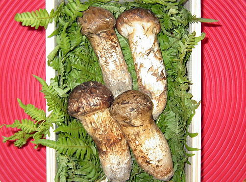 松茸(マツタケ)販売!岩手県産の特級品 【天然きのこ山菜.com】