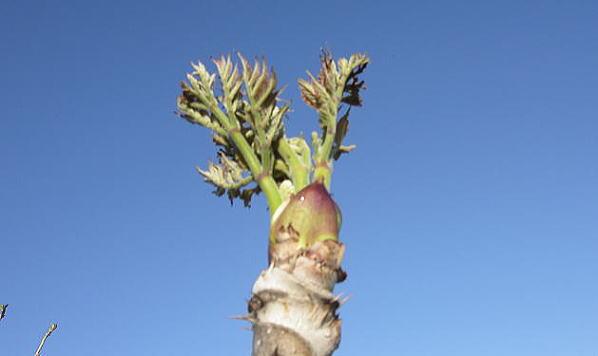 天然たらの芽(タラノメ)お得なロングサイズ販売