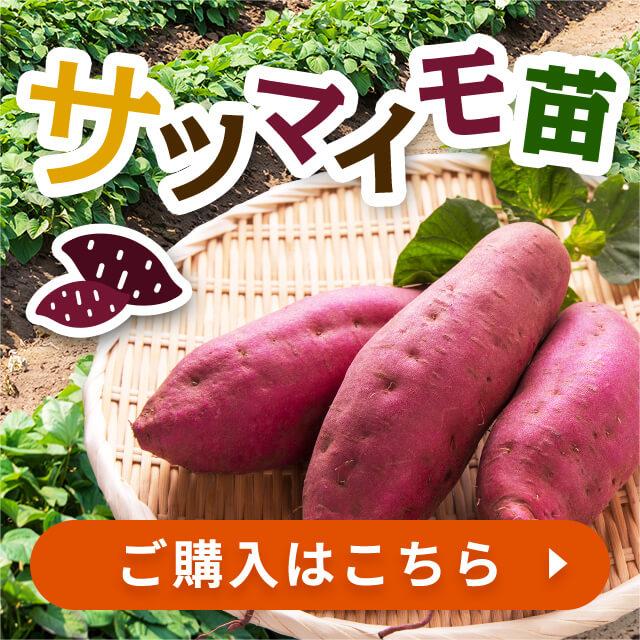 サツマイモ苗 ご購入はこちら