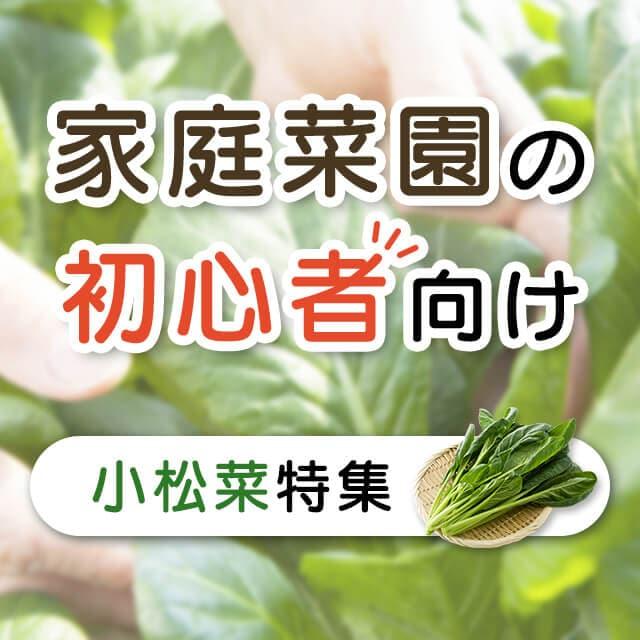 家庭菜園の初心者向け 小松菜特集