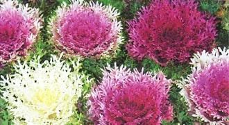 営利生産用草花種子