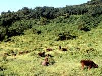 神戸牛の素牛となる黒毛和牛但馬牛の様子
