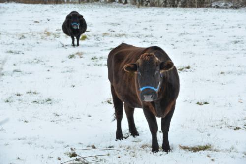 神戸牛と米沢牛の違い