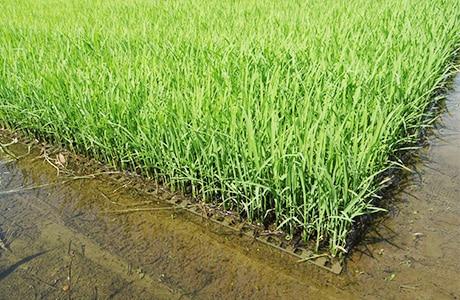 ポット苗で稲を育てている写真