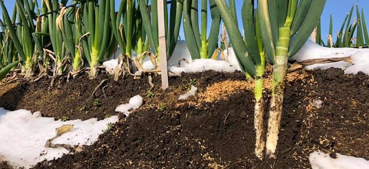 田中農場の白ネギ栽培の取り組み