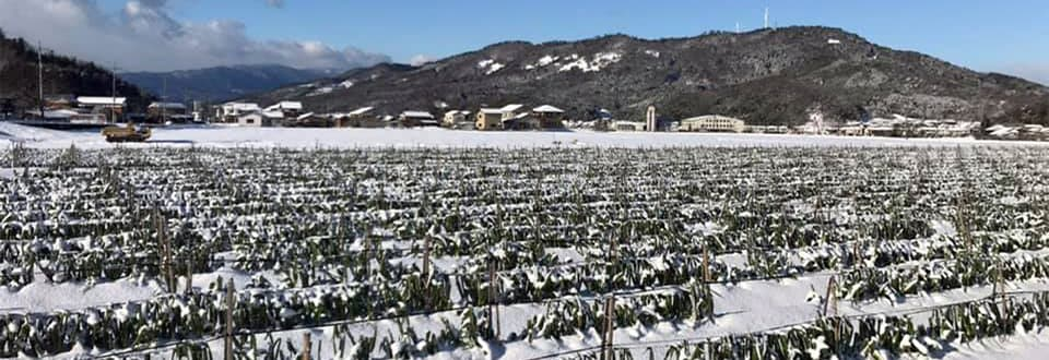 2021年1月の最強寒波の強い寒さに耐え甘みたっぷりの極寒越冬白ねぎ