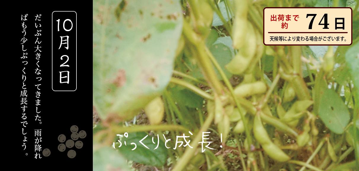 黒豆育成 10月