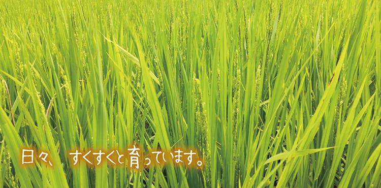 03コシヒカリ育成09