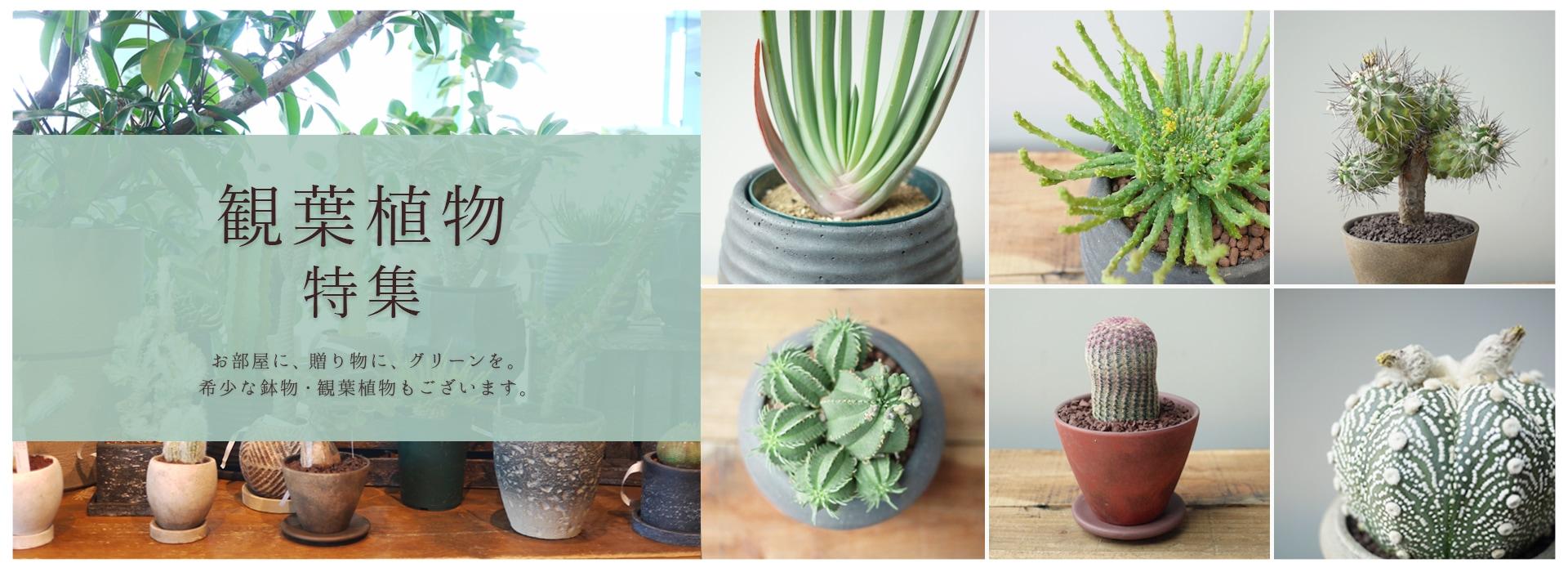 観葉植物,鉢物,一点もの