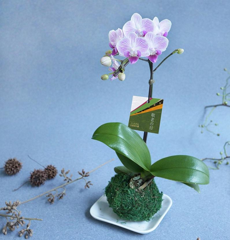 敬老の日商品苔玉マイクロ胡蝶蘭