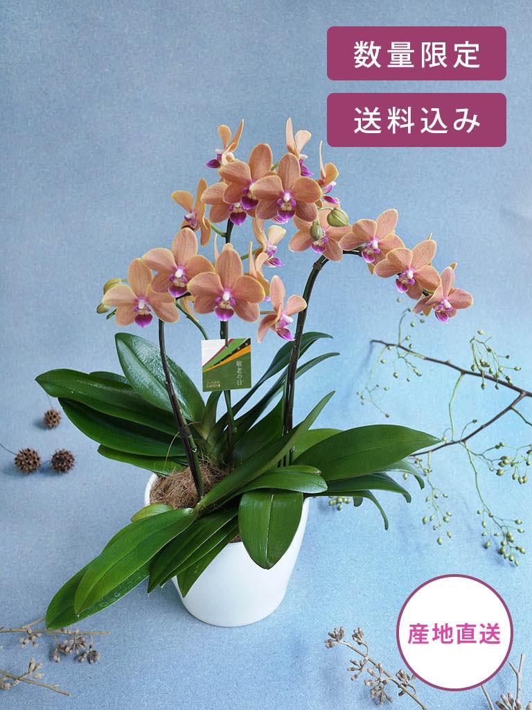 【敬老の日限定商品】ミディ胡蝶蘭 3本立ち