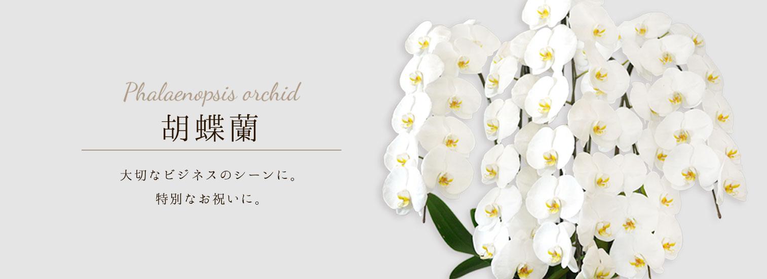 胡蝶蘭メイン画像,お祝い花,昇進祝い
