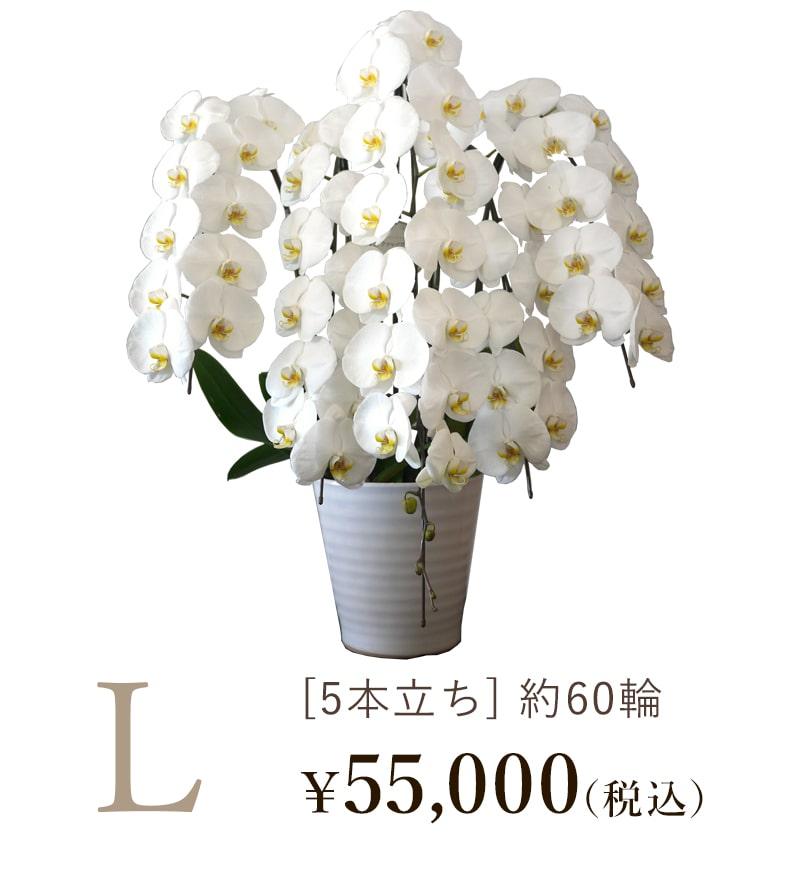 胡蝶蘭5本立ちLサイズの値段