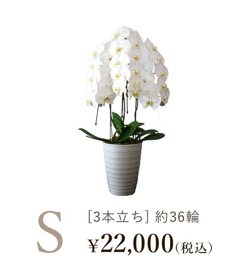 胡蝶蘭3本立ちSサイズの値段