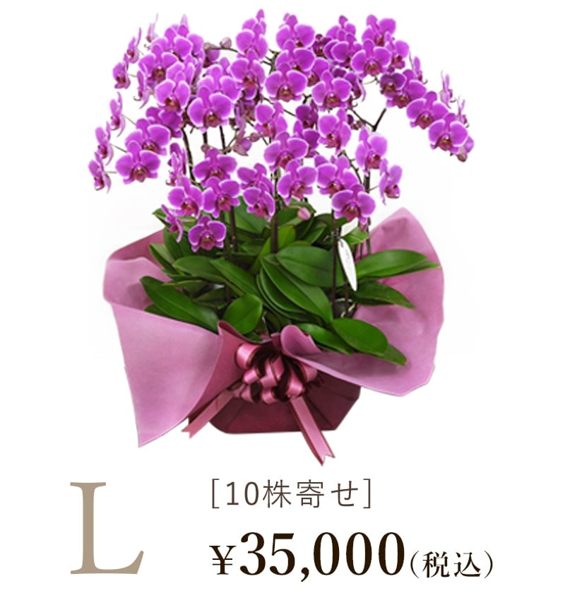 胡蝶蘭シェアオーキッド10株寄せLサイズの値段