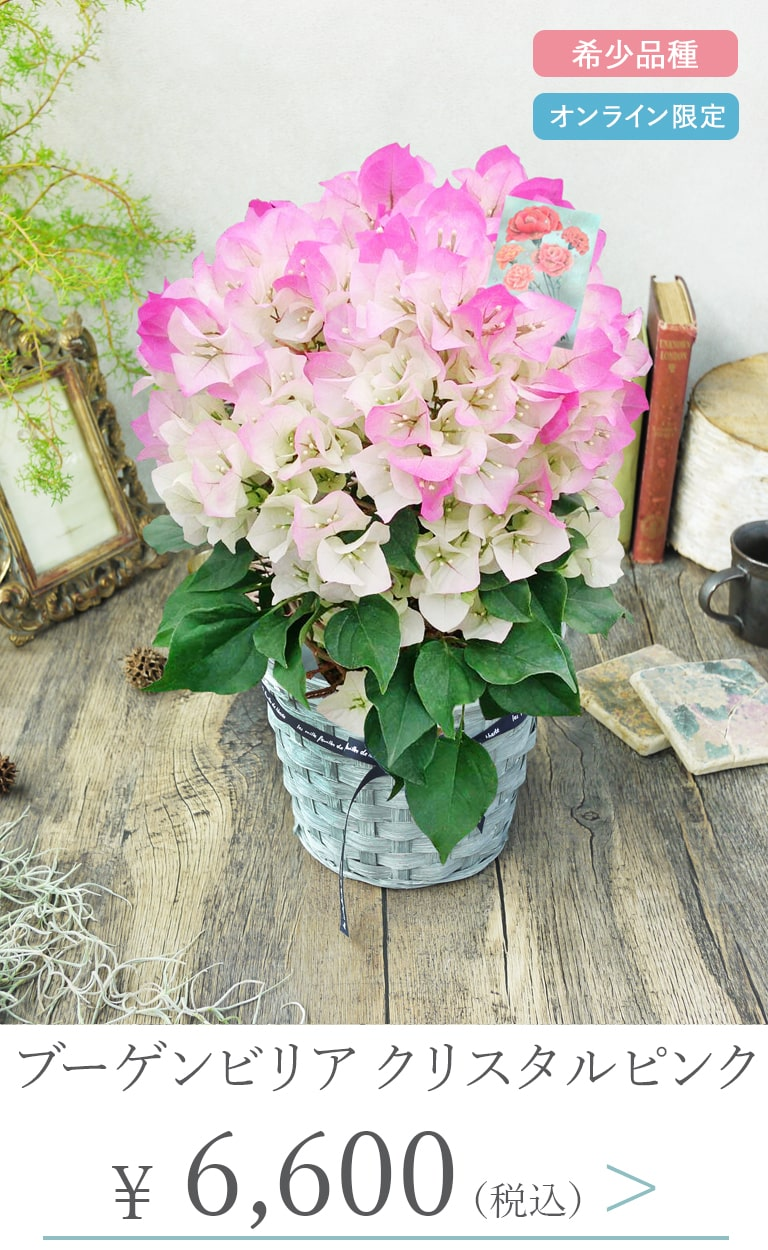 母の日鉢植えブーゲンビリア クリスタルピンク