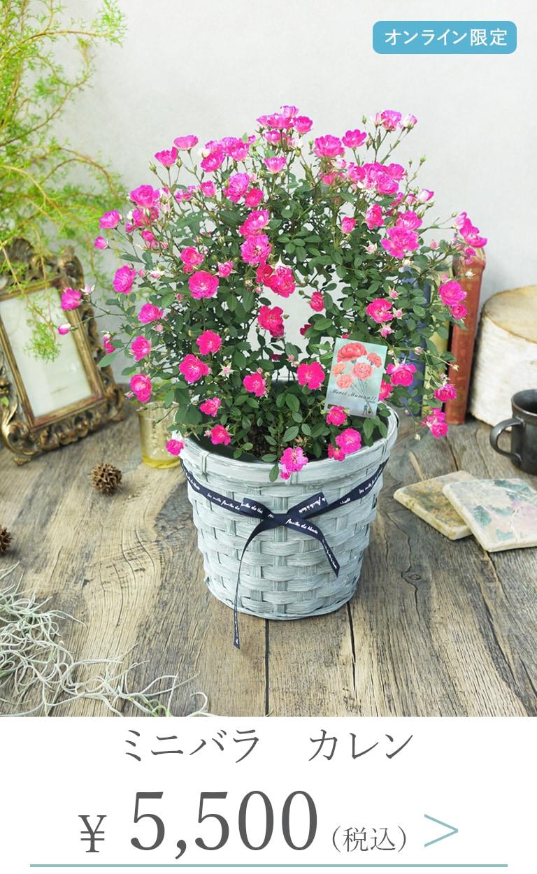 母の日鉢植えミニバラカレン