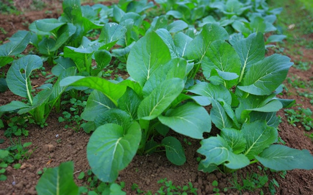 小松菜の写真