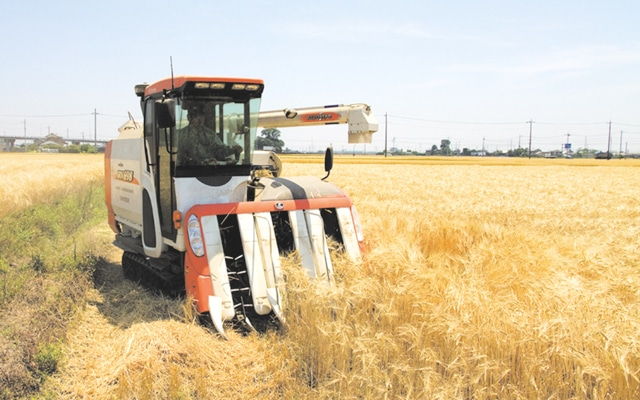 麦畑での作業風景
