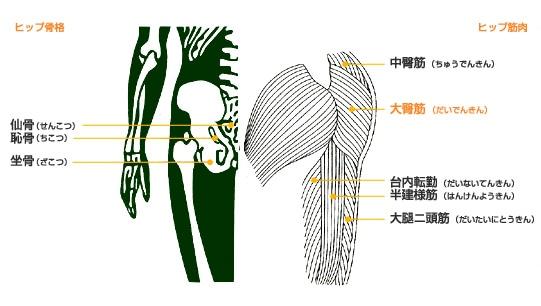 ヒップの骨格と筋肉