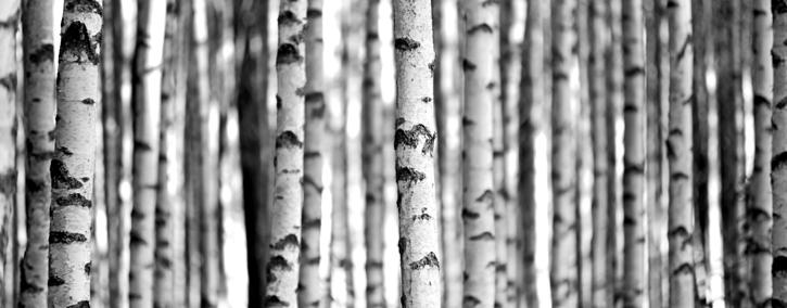 フィンランドの白樺樹液