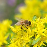 花粉交配用ミツバチ・女王蜂