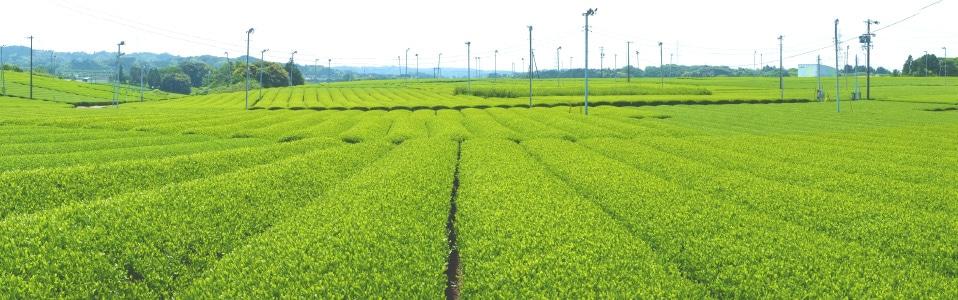 静岡県菊川茶 茶園