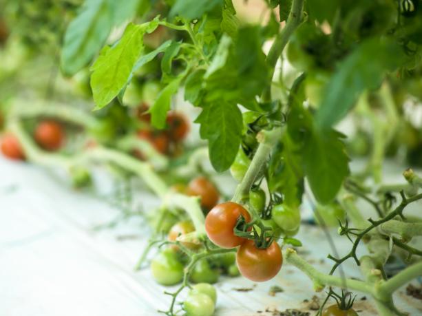 トマトの節水栽培