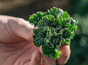 プチヴェール野菜