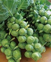 芽キャベツ 苗