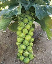 芽キャベツ苗