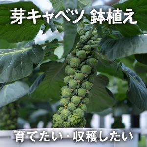 芽キャベツ鉢植え