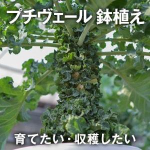 プチヴェール鉢植え