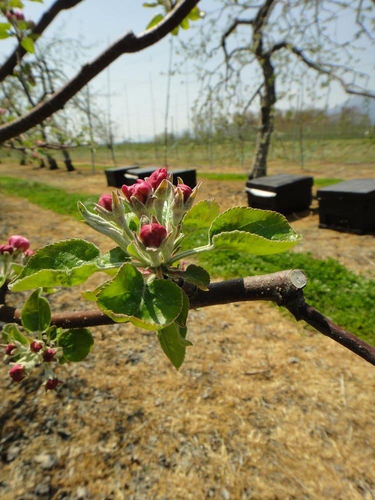 リンゴの花のつぼみ