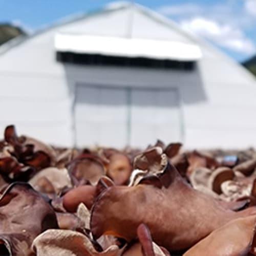 緑工房きくらげの3つの特徴 ビタミンDが豊富 ハウスの外で乾燥きくらげを天日干しにしてビタミンDの増加を狙っている様子