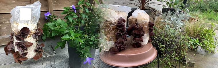 日陰で大きく成長しているきくらげ きくらげの栽培ブロック(菌床)は日陰や湿気の多い場所でよく育ちます