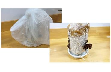 きくらげの栽培方法�水受け皿の上に割りばしを置いて割りばしの上に栽培ブロックを置いたら上からビニール袋または苗ドームをかぶせきくらげを育て始めます