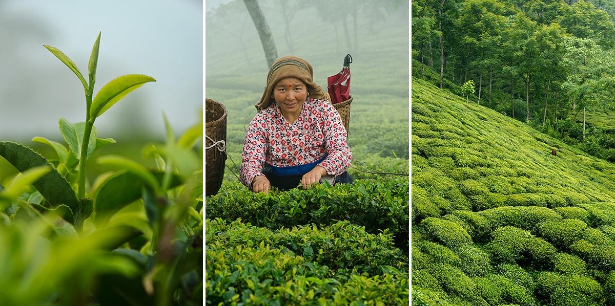 茶畑で茶葉の採集をしている風景