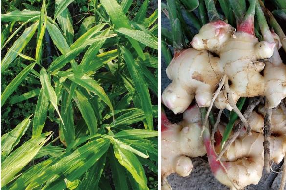 ミモレ農園で育った農薬不使用バジルを100%使用した、無添加「生姜粉末」です。