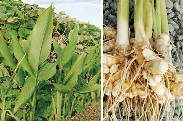 ミモレ農園で育った農薬不使用クスリウコンを100%使用した、無添加「春うこん粉末」です。