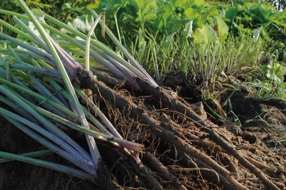 ミモレ農園 無添加 葉ごぼうの和風ホワイトスープ