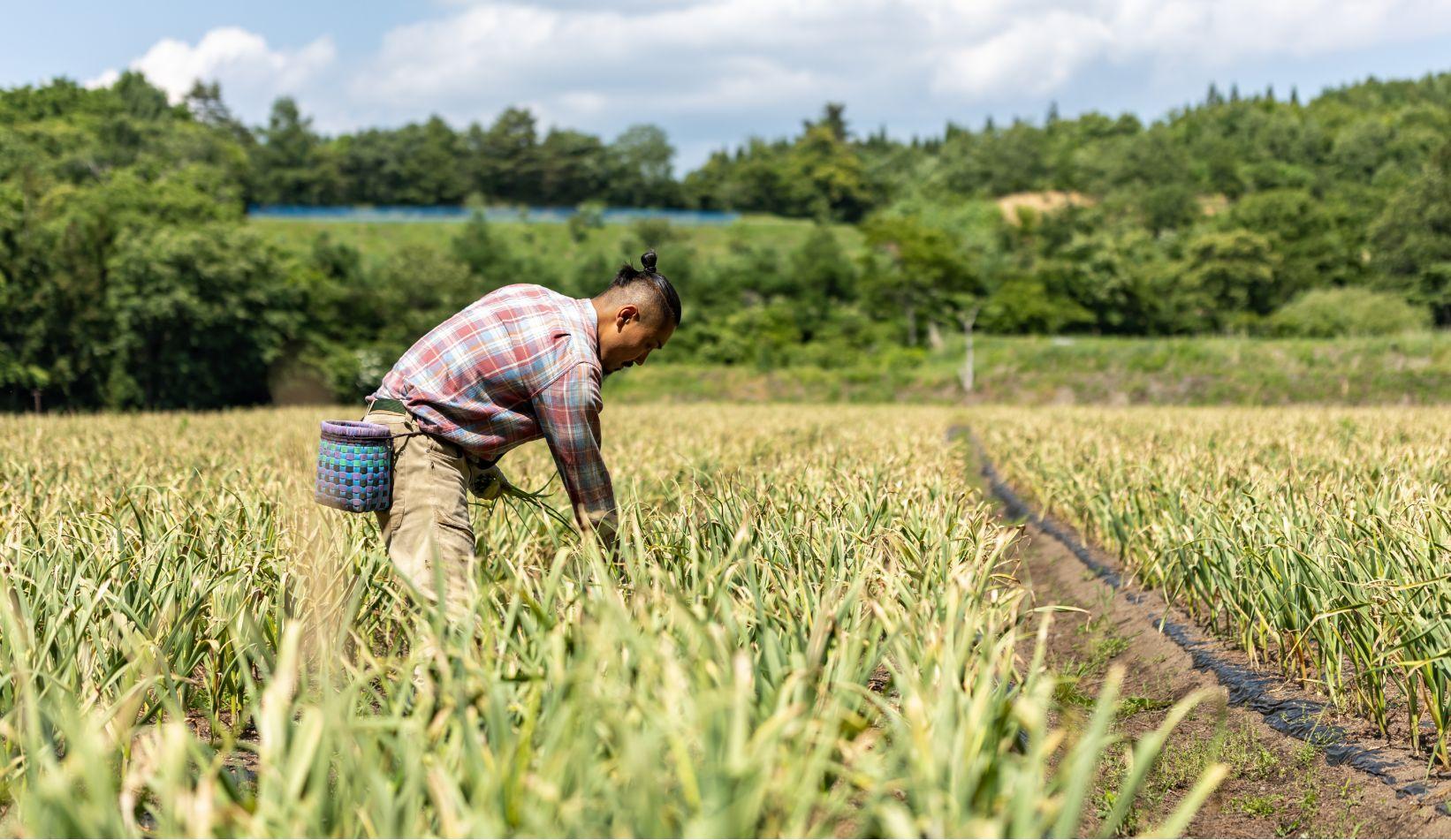 にんにく畑風景