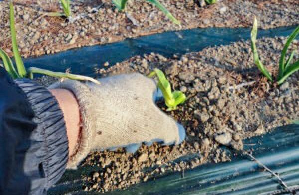 にんにく種こぼし作業1