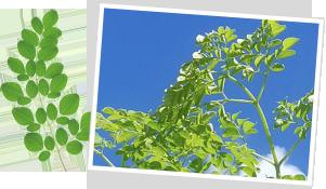 「石垣島モリンガ組合」で栽培された、農薬・化学肥料不使用で最高品質のモリンガ