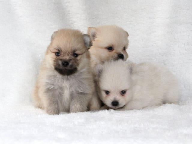 タオルにたたずむ3匹の子犬